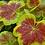 Thumbnail: Pelargonium  'Occold Shield'