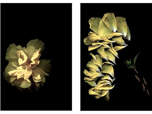 Série: Flores Esquadrinhadas - 2 fotos - Ieva Martinaitis