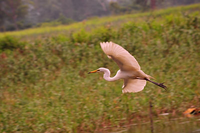 鷺,展開雙翼平飛的威風姿態