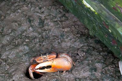 招潮蟹能在港見到,但越來越少