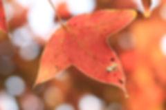 原來的一片綠葉,被抽乾水份後變成紅色