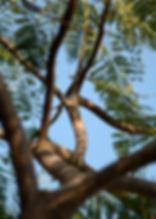 彎曲鳳凰木樹幹通向藍天