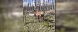 Woman charged by elk