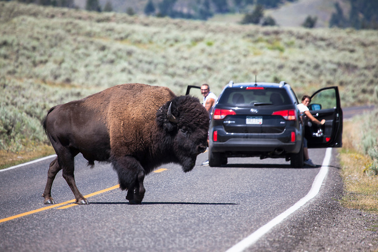 Aussie man thrown by bison