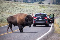Aussie man thrown by bison