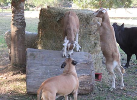 Miniature Goats - Meet Tweet & Twit