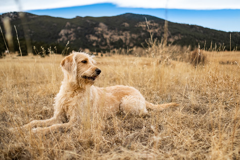Goldendoodle in gold