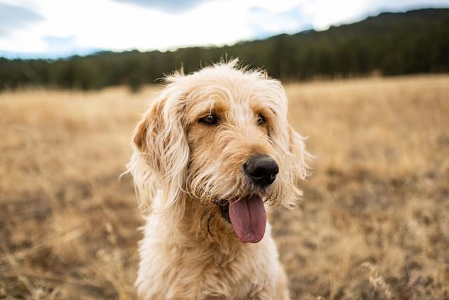 Perfect goldendoodle portrait