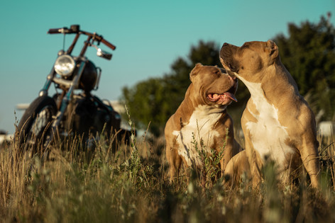 photo artistique american bully chien a chalons en champagne devant une harley davidson