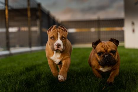 American bully et bouledogue francais photographe marne chien