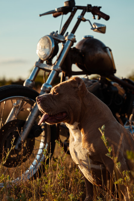 photographie american bully harley davidson