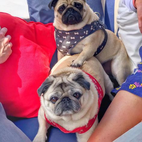 Pugs on board The Fizz Boat