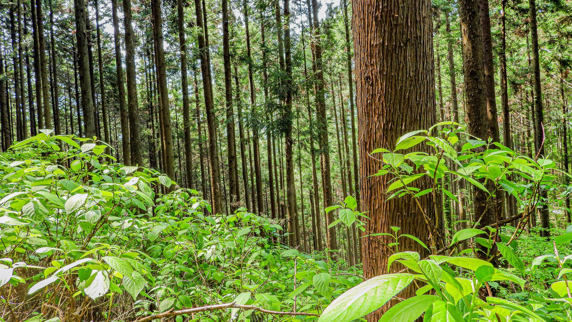 Uenomura Forest, Japan