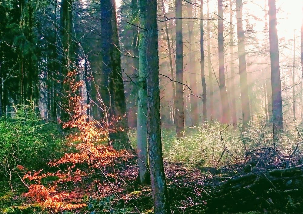 Prachtige lichtval in het bos van Wolfheze.
