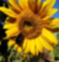 Tournesol abeille.jpg