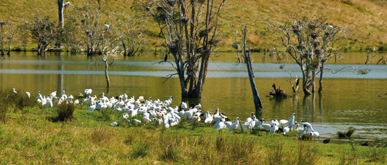 Egret rookery at Lawrence - G2Y