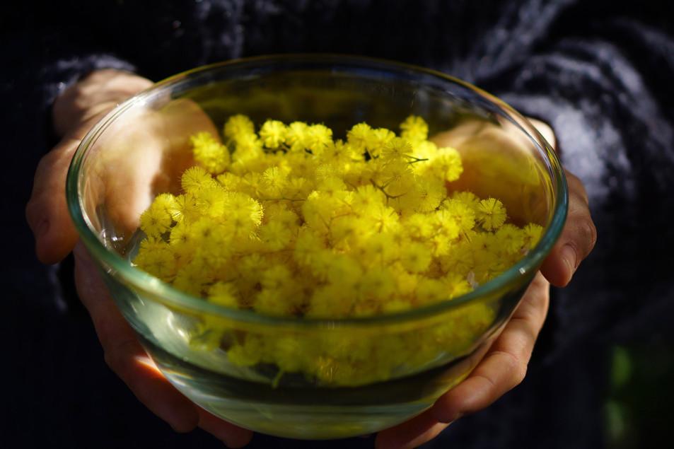 L'élixir floral de mimosa