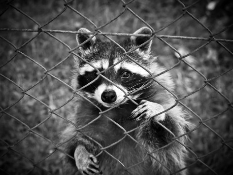 My Boyfriend Was Reincarnated as a Raccoon and Now Won't Stop Eating My Trash
