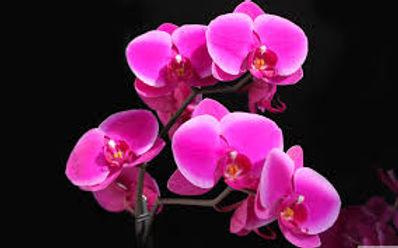 pink orchid black bkgrnd.jpg