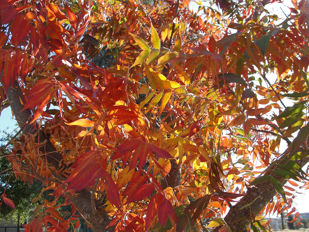 Chinese Pistache leaves in Fall.