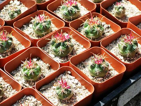 cactus pots SERG.jpg