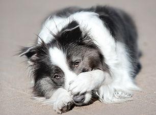 portrait black and white dog border coll