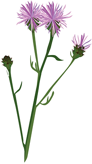 wild flowers_Knapweed.png