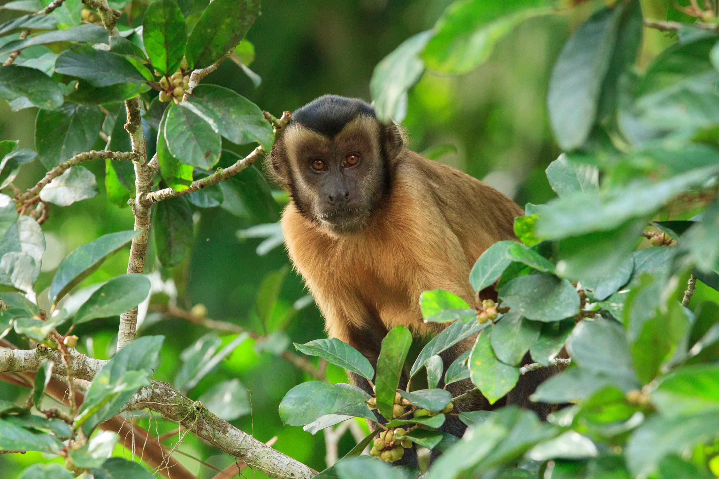 Capuchin Monkey - Alex Da Riva