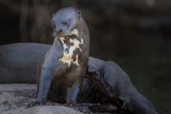 Giant Otter-Jorge Lopes
