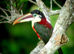 Cristalino Jungle Lodge -  Curl-crested Aracari (Pteroglossus beauharnaesii) - Will and Gill Carter
