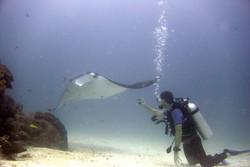 Diving Manta Ray