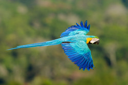 Blue and Gold Macaw - Jorge Lopes