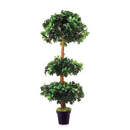 Ficus Panda Three Head