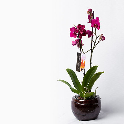 Phalaenopsis Mixed Colours (Orchid)