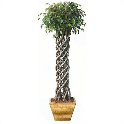 Ficus Benjamina Cage