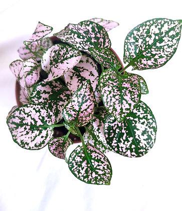 Hypoestes (Polka Dot Plant) Light Pink