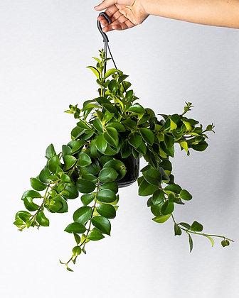 Aeschynanthus Mona Lisa (Lipstick Plant)