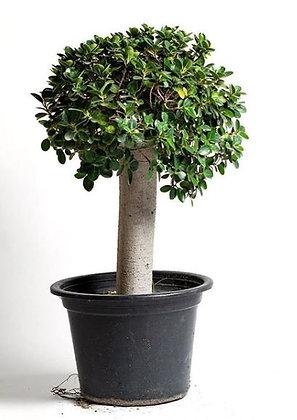 Ficus Panda Thick Trunk