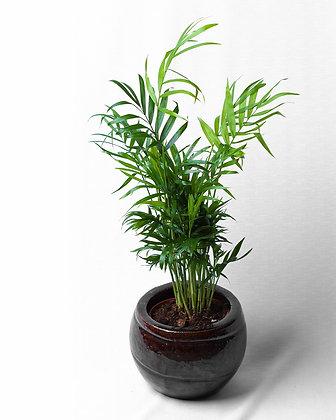 Chamaedorea Elegans (Parlour Palm)