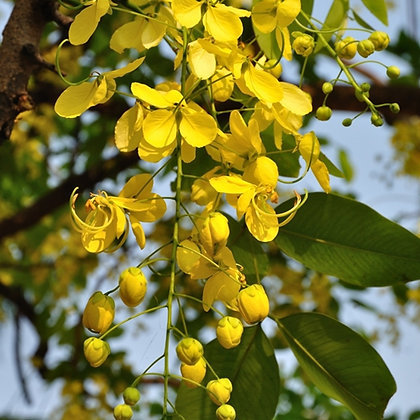 Cassia Fistula (Golden Tree)