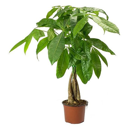 Pachira Aquatica (Money Tree)