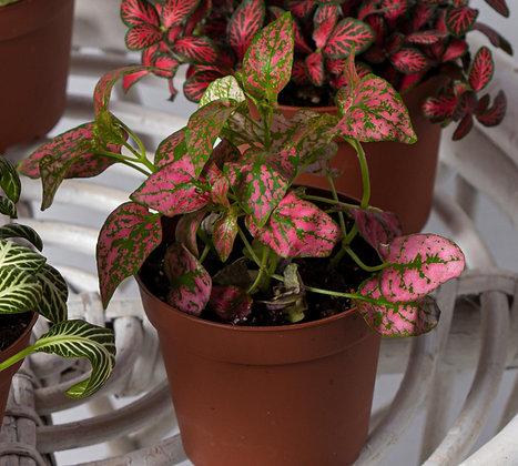 Hypoestes  Pink (Polka Dot Plant)