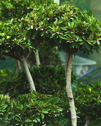 Ficus Three Level Topiary