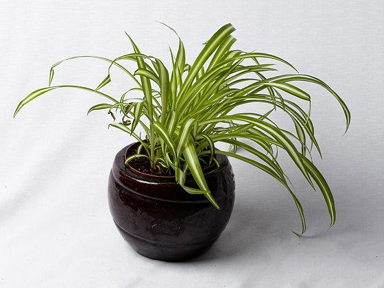 Chlorophytum Variegatum (Spider Plant)