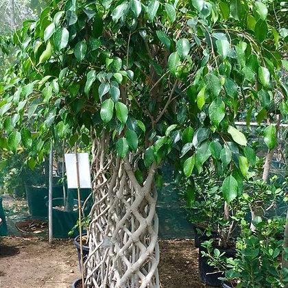 Ficus Panda Five Cage