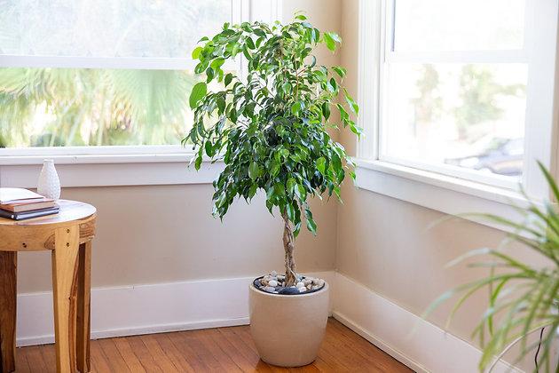 Ficus Benjamina Braid (Weeping Fig Braid)