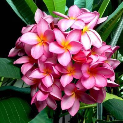 "Pulmeria Obtusa Pink  ""Bare Rooted"""