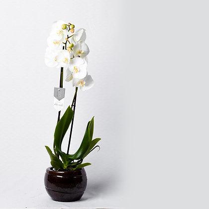 Phalaenopsis White (Orchid)