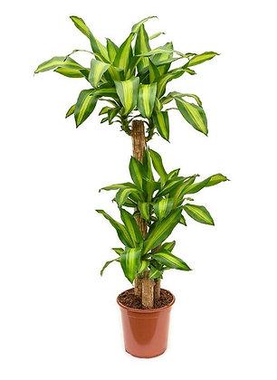 DRACAENA FRAGRANS MASSAGEANA (CORN PLANT)
