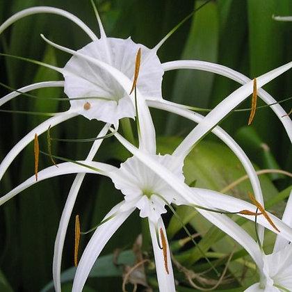 Hymenocallis (Spider Lilly)